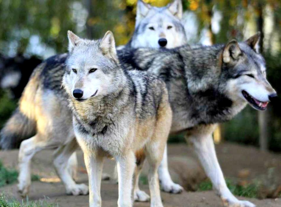 La simbologia del lupo e i riti di iniziazione alla guerra nella steppa russa dell'Età del Bronzo